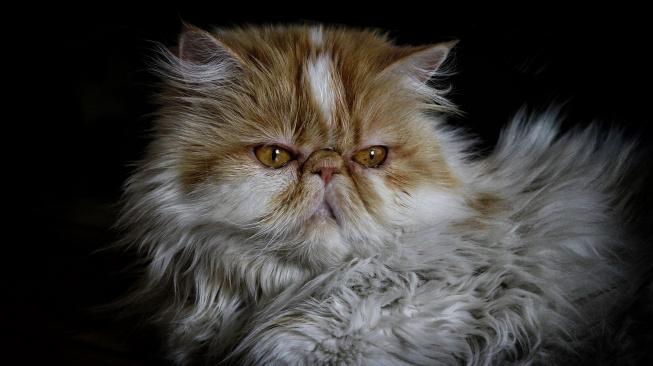Plochý obličej kočkám ztěžuje komunikaci, chybí jim důležitá mimika