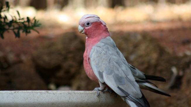 Ukřičený růžový 'ťulpas' je kamarád na celý život