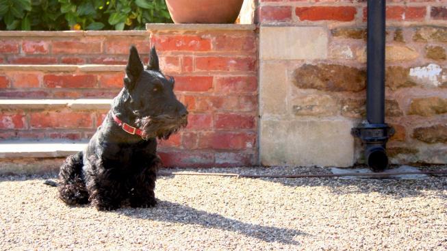 Skotský teriér: Hravý psík s duší drsného skotského horala