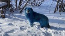 Modří psi