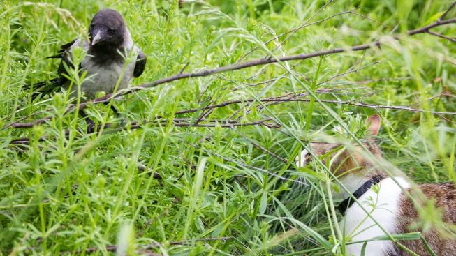 VIDEO: Chytrá vrána se naučila mňoukat, aby dostala jídlo