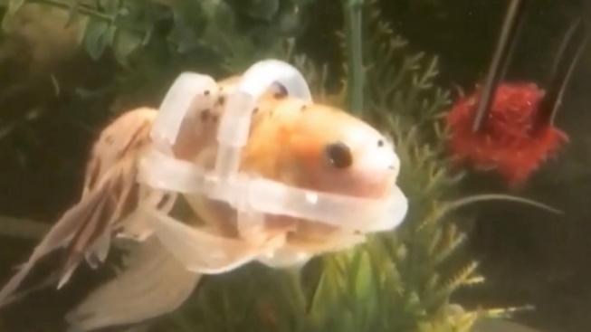 Zlatá rybka nemohla kvůli nemoci plavat. Dostala speciální plovací vestu