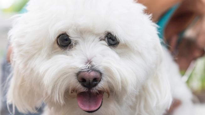 Hravý boloňský psík je profesionální společník. Už od středověku