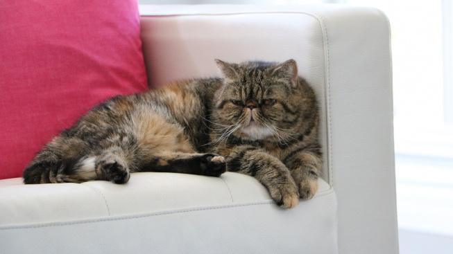Exotická kočka: Vypadá jako peršanka, ale není to peršanka