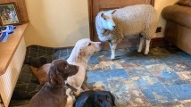 Ovce, co si myslí, že je pes
