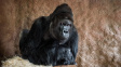 Gorilák Richard z pražské zoo má koronavirus, nemocní jsou i dva lvi