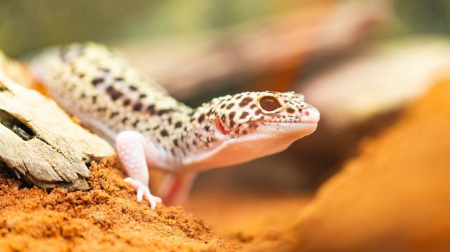 Gekoni a gekončíci: Dráčci i pro začínající chovatele