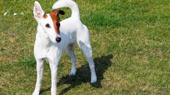 Hladkosrstý teriér - energický pes šlechtěný na hubení krys