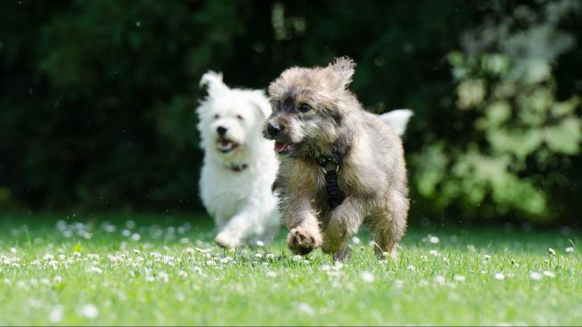 Psi si hrají s větší radostí, když jsou u toho lidé