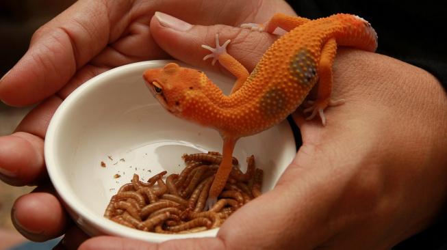Chov gekonů: Jak vybavit terárium a volit krmení