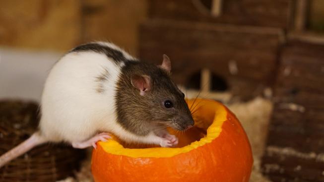 Blechy mohou pořádně potrápit i domácího potkana či krysu