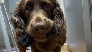 Čtyřletý kokršpaněl Harvey za čtyři roky zvládl spořádat 150 ponožek.