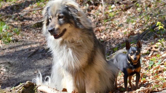 Krašský ovčák - vzácný horal ze Slovinska je ideální hlídač