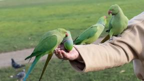 ring-necked-parakeet-eating-4831159_1920
