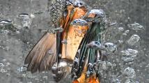 Ledňáček při lovu