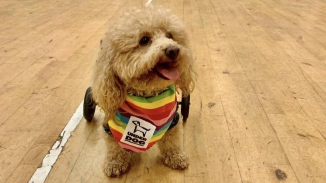 OBRAZEM: Ochrnutý pudlík měl skončit v salámu, teď je z něj terapeutický pes