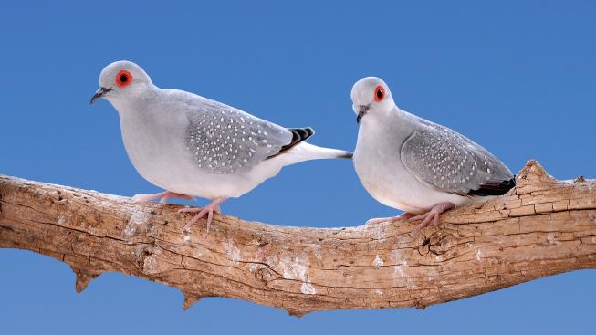 Holoubek diamantový - klidný a nenáročný pták vhodný i pro začátečníky