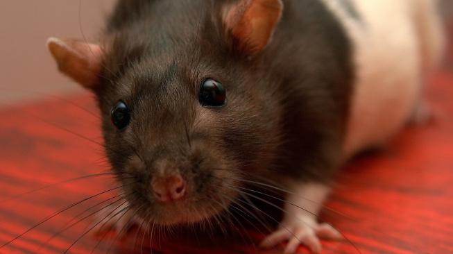 Když potkani 'krvácí' z očí a lapají po dechu