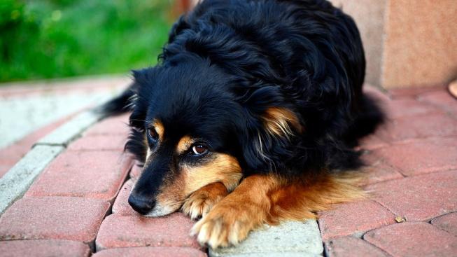 Jak poznat, že váš pes trpí Alzheimerovou chorobou