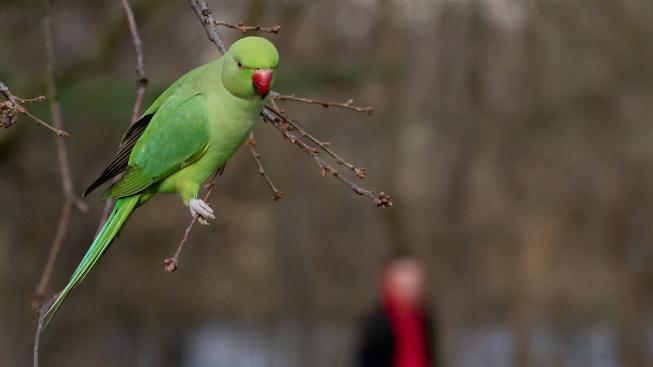 Když se z oblíbeného papouška stane v přírodě invazní druh