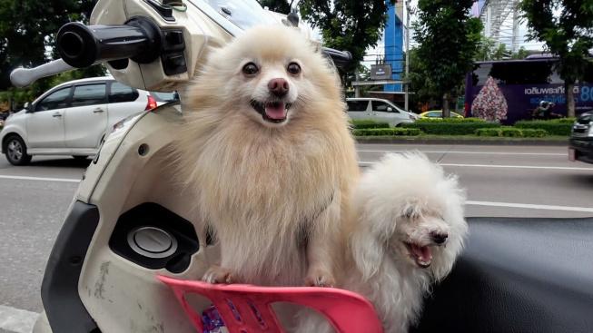 OBRAZEM: Nasedat! V mototaxi vozí zákazníky i dva chundelatí asistenti řidiče