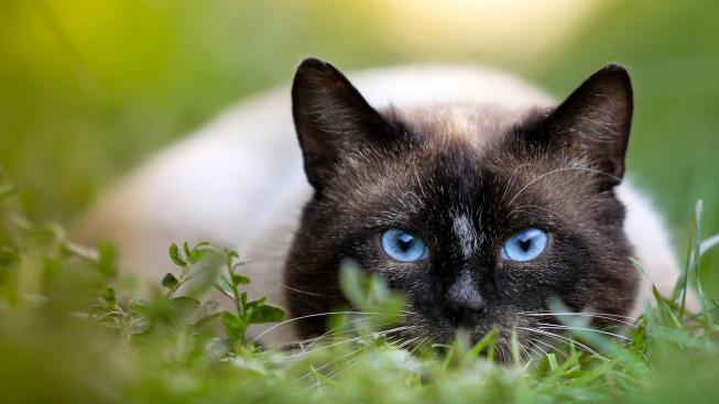 Vyráží vaše kočka příliš často na lovecké výpravy? Servírujte ji masitější stravu