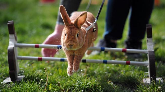 Vědci identifikovali králičí 'gen skákavosti'