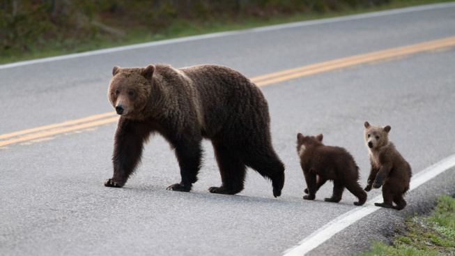 VIDEO: Neobvyklé trable čtyřnásobné medvědí mámy