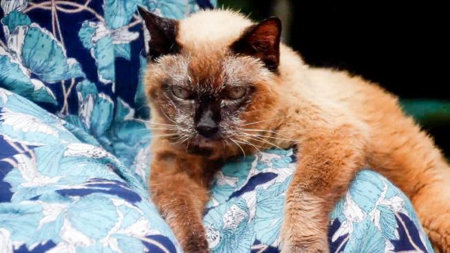 Nejstarší kočkou na světě je siamka Babča Wad. Je jí 34 let