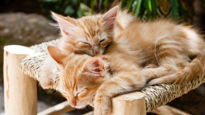 Dvě koťata jsou lepší než jedno. Při výchově i hraní