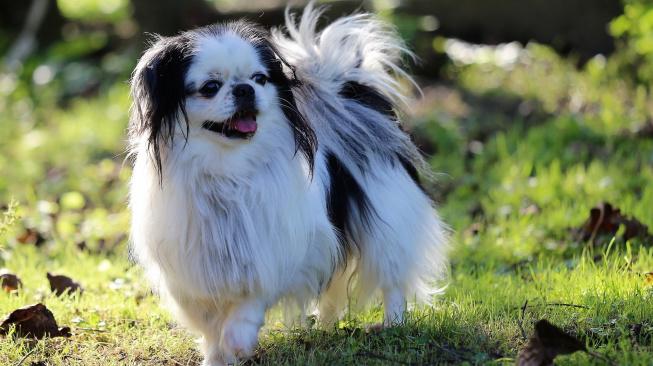 Japan-chin, tak trochu kočičí duše v psím těle