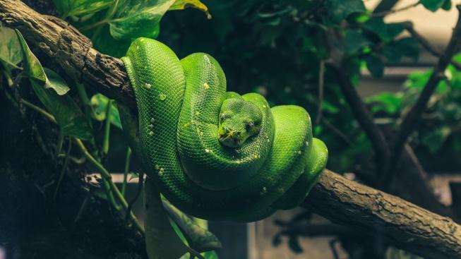 Krajta zelená: Had pro pokročilé je esencí zlověstné hadí krásy