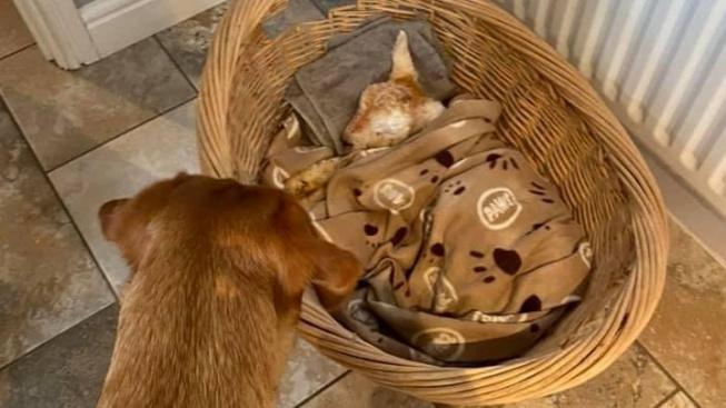 Jehně přežilo těžký příchod na svět díky starostlivé péči 'psí chůvy'