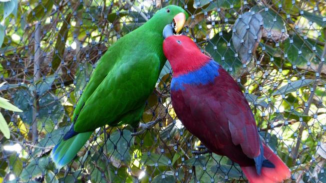 Eklektus různobarvý: Krásně barevný papoušek s citlivou duší