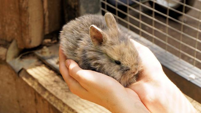 Domestikace dramaticky proměnila králičí mozek