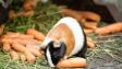 Jak se u morčat projevuje nedostatek vitaminu C