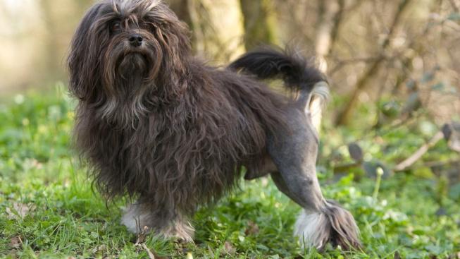 Lvíček - veselý psík s pověstí 'nejvzácnějšího plemene na světě'