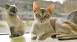 Singapurská kočka - roztomilé  plemeno, u jehož zrodu možná stál velký podvod