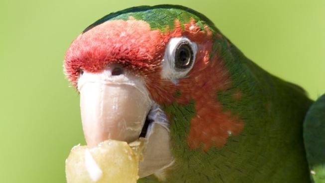 Aratinga červenolící - přátelský křikloun, který se rád učí mluvit