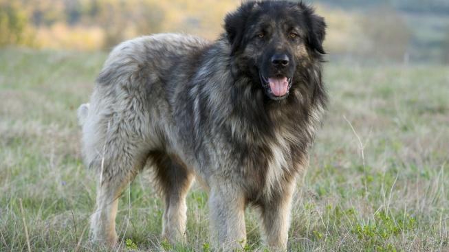Šarplaninec - vlkobijec z drsných balkánských hor