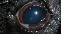 Pes, který slintá z očí