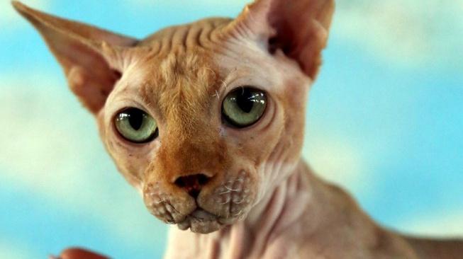 Bambino - lysá kočka na krátkých nožkách, která vznikla jako experiment