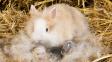 Nečekaný rekord: Králičí samička porodila 24 mláďat. S kastrovaným samcem