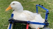 Kachna na vozíčku