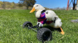 Kachna ochrnula po útoku predátora. Pohybuje se díky speciálnímu vozíku