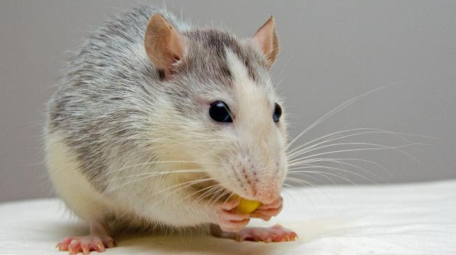 Jak poznat a řešit přerůstání zubů u potkanů