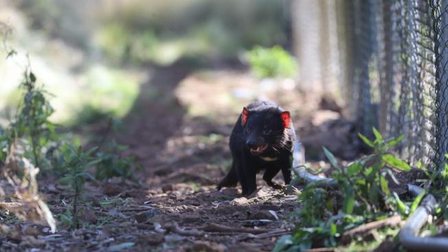 Ďáblové mají mladé! Austrálie čekala na mláďata tasmánských čertů 3000 let