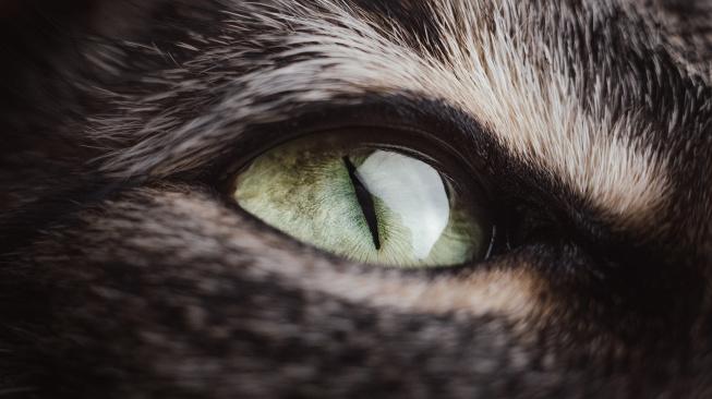 Kočičí uveitida: Zánět oka, který může skončit slepotou
