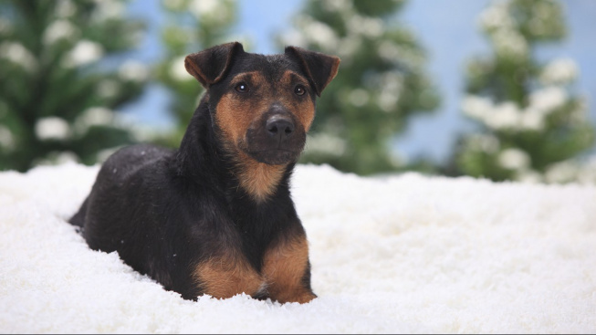 Jagdteriér: Meziválečné Německo vytvořilo 'dokonalého' loveckého psa