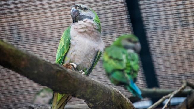 Alexandr čínský: Hlučný, ale chytrý papoušek se slušivou bradkou